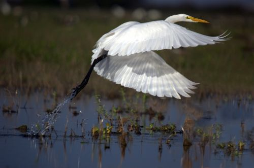 great egret flight ardea alba