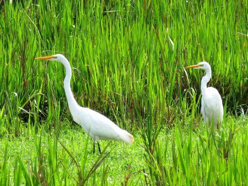 great egret bird fauna