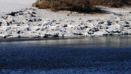 Great Egret At Salton Sea Lake