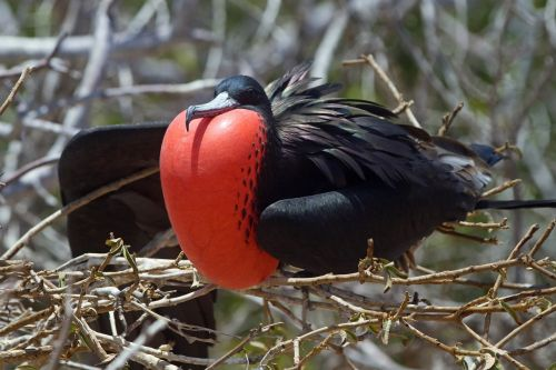 great frigate bird red breast