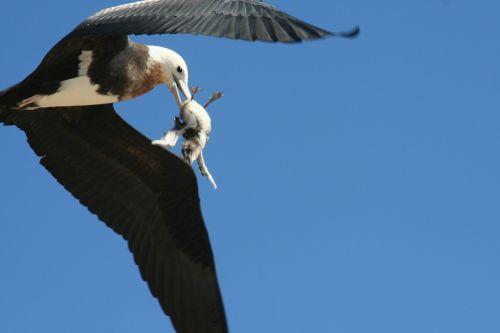 great frigatebird immature flying