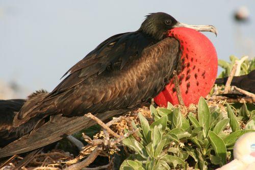 great frigatebird male nest