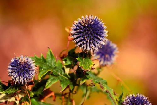 great globe-thistle  flower  plant