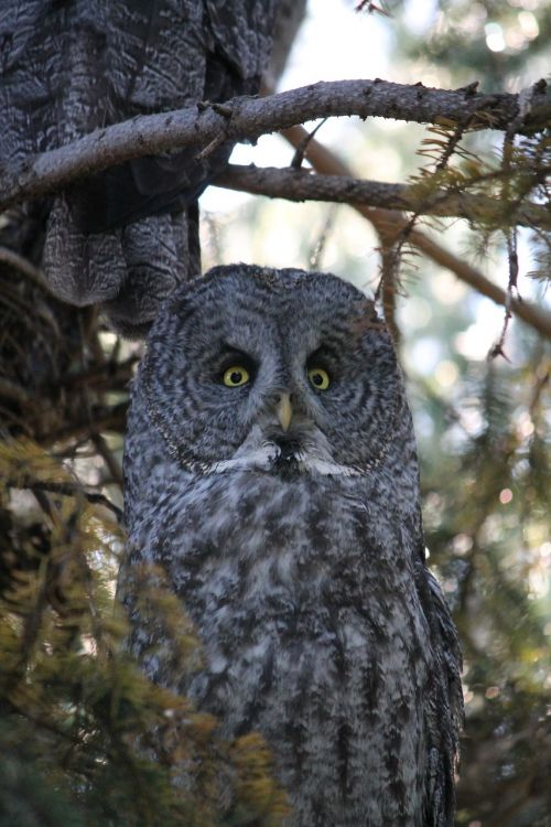 great gray owl phantom of the north cinereous