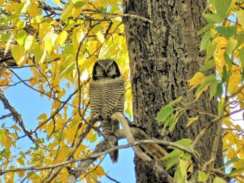 great grey owl owl waterton parks