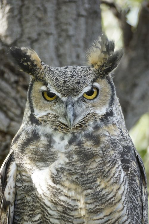 great horned owl bird eyes