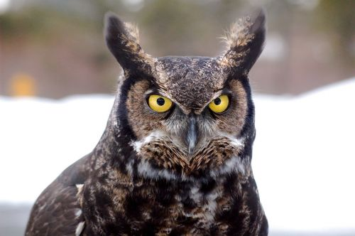 great horned owl bird owl