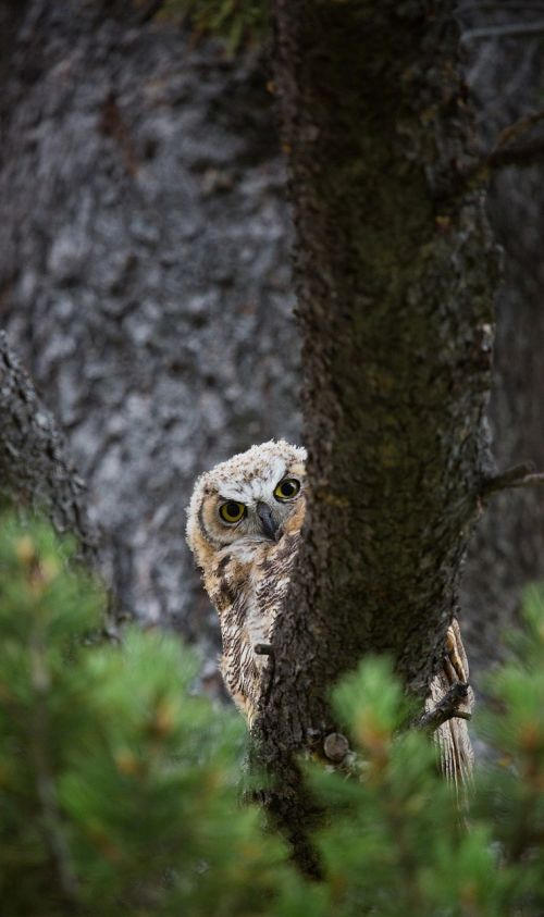 great horned owl tree predator