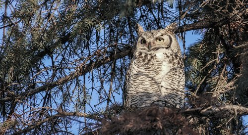 great horned owl female  owl  horned owl