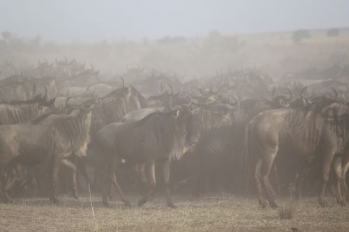 great migration africa safari