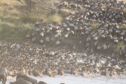 great migration africa animal