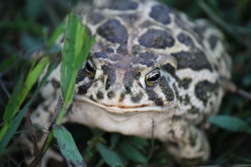 great plains toad kröte toad