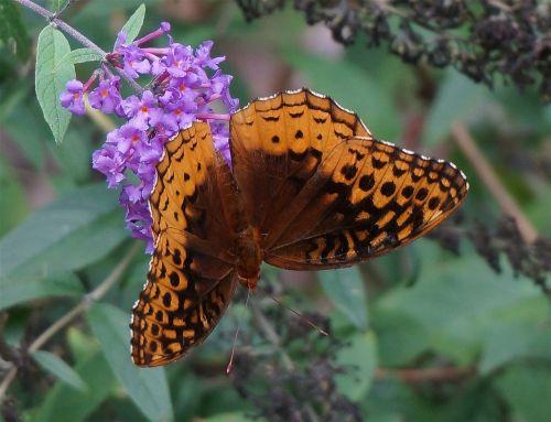 great spangled fritillary fritillary butterfly