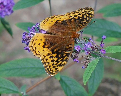 great spangled fritillary butterfly butterfly orange