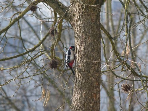 great spotted woodpecker tree nature