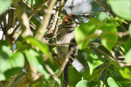 puikus dėmėtojas,dzenis,miško paukštis,paukštis,gamta,gyvūnas,krūmas,slėpti