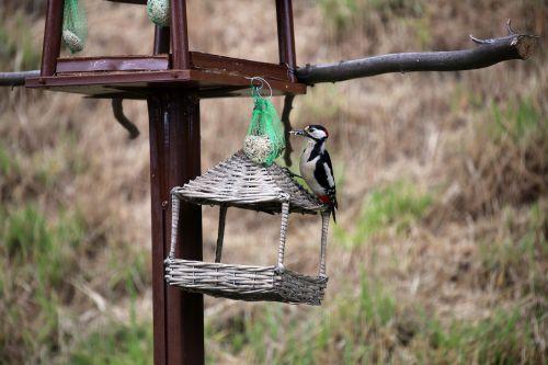 great spotted woodpecker bird woodpecker