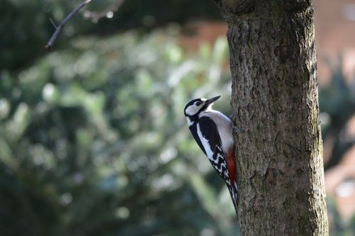 great spotted woodpecker nature forest bird