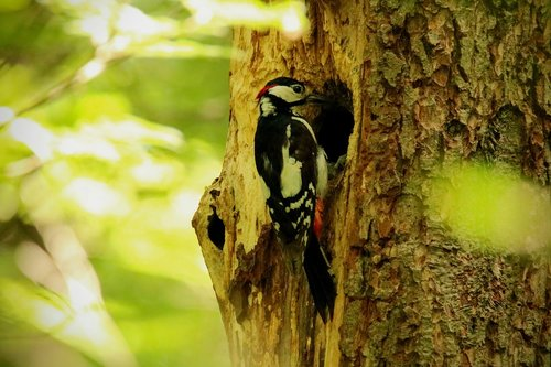 great spotted woodpecker  bird  foraging