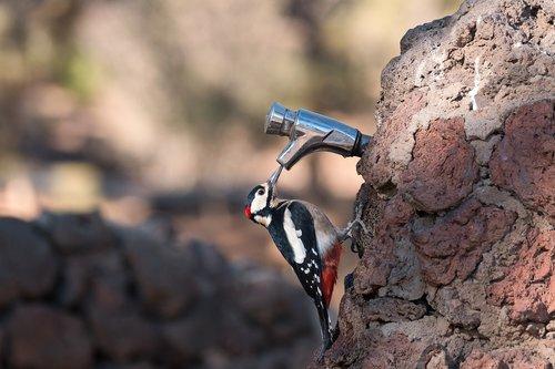 great spotted woodpecker  bird  avian