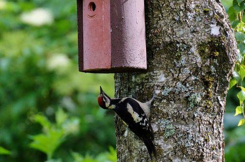 great spotted woodpecker woodpecker bird