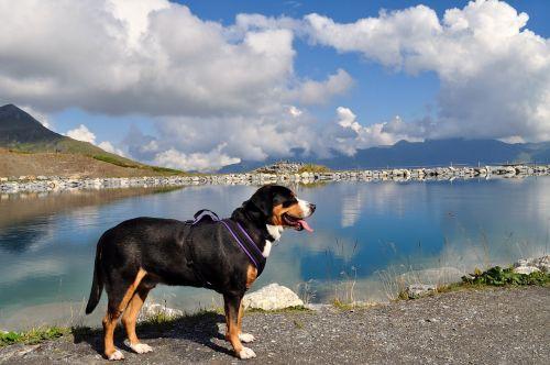 great swiss mountain dog eiger-jungfrau run grindelwald