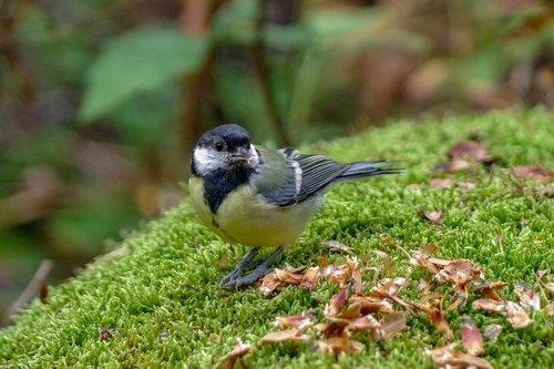 great tit  bird  moss