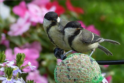 puikus tits,Parus majoras,paukštis,jaunas,maitinimas,sodas