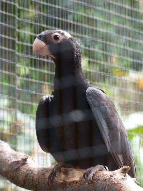 great vasa parrot bird grey