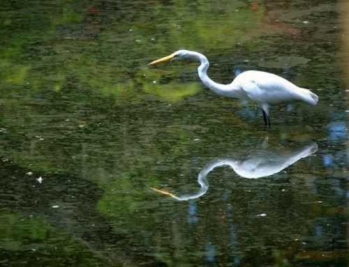 great white egret bird waterfowl