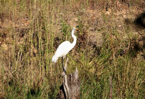Great White Egret Perched On Stump