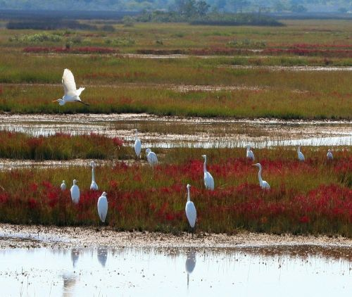 great white herons marsh bog