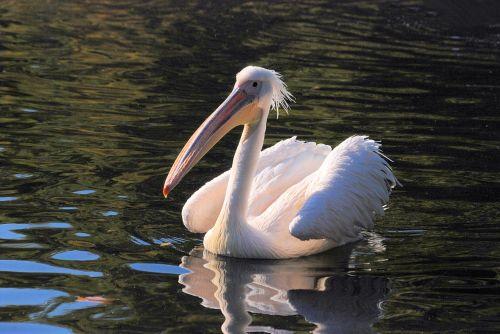 great white pelican pelican pelecanus onocrotalus