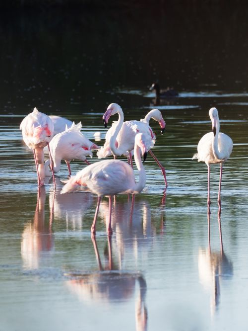 greater flamingos flamingo birds