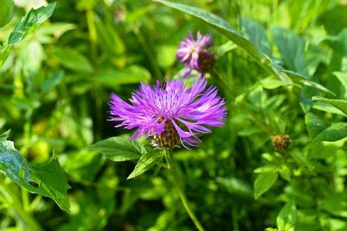 greater knapweed  plant  flower