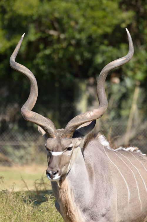 greater kudu animal zoo