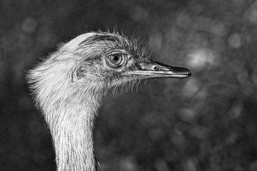 greater rhea  bird  animal
