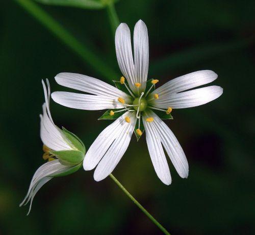 greater stitchwort flower white