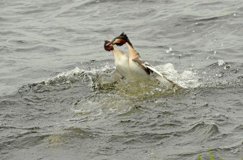 grebe bird waterfowl