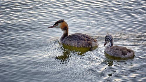 grebe  water  young