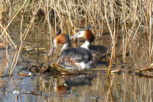 grebe  nest building  ditch