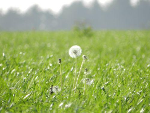 green prado dandelion flower