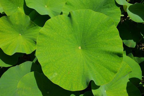 green botany leaf