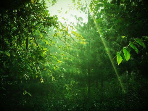 žalias,medis,kalnas,gijimas,lapai,natūralus,mediena,miškas,ray,šviesa,saulės spindulys,saulės šviesa