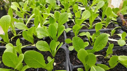 green vegetable organic