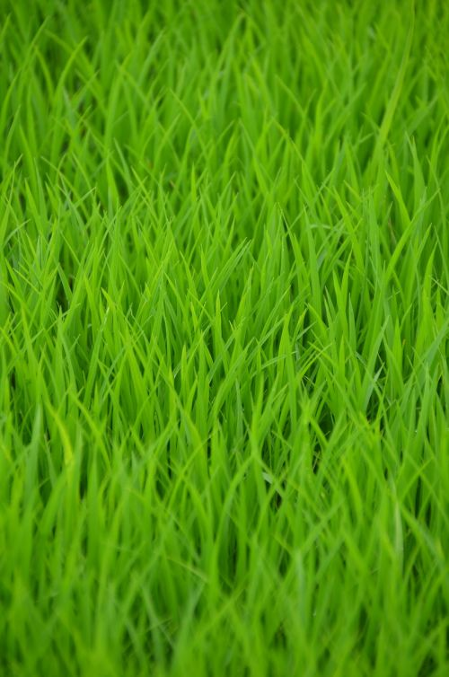 green rice rice field