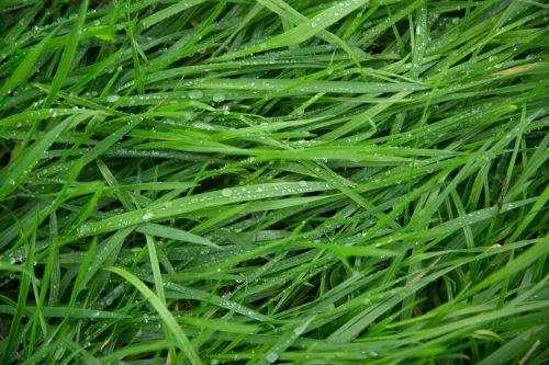 green grass wet