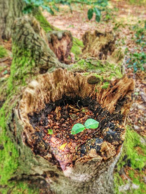 green tree stump scion