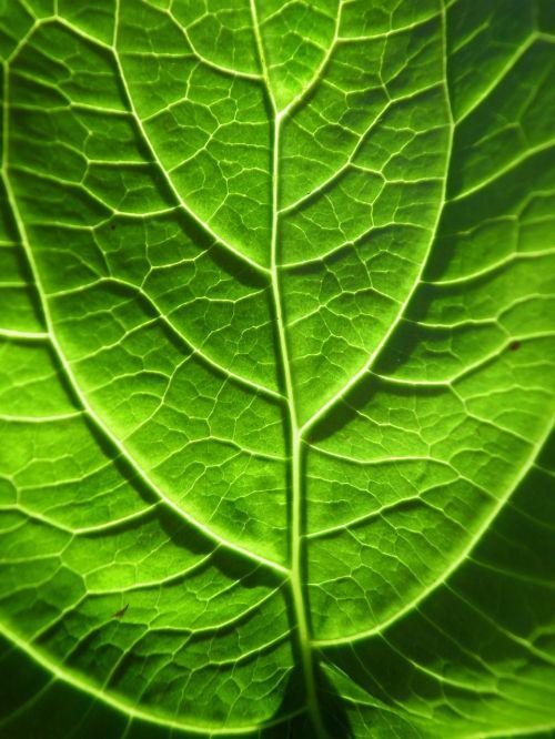 žalias,lakštas,makro,venos