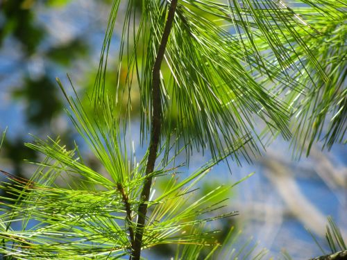 green tree pines